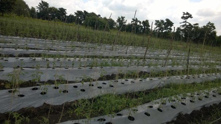 plantation, crops, farming, ayurveda