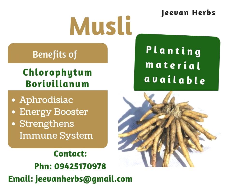 safed musli, moosli, aphrodisiac, chlorophytum borivilianum