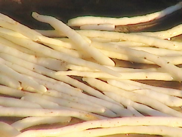 Chlorophytum Borivilianum, safed musli, moosli, immunomodulator, cure impotency